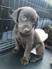 View Ad: Labrador Retriever Litter of Puppies for Sale near
