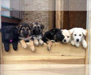 German Shepherd Dog Puppy for Sale in ARVADA, Colorado USA