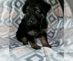 Puppy 9 German Shepherd Dog