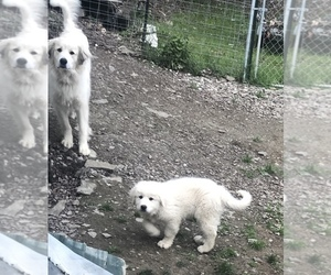 Great Pyrenees Puppy for sale in BINGHAMTON, NY, USA