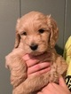 Goldendoodle Puppy For Sale in KNOXVILLE, TN, USA