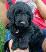 Goldendoodle Puppy For Sale in PLACERVILLE, CA