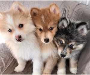 Pomsky Puppy for sale in WOODSTOCK, CT, USA