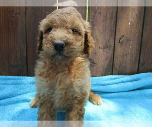 Poodle (Standard) Puppy for sale in GR, MI, USA