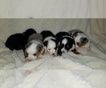 Miniature Australian Shepherd Puppy For Sale in AUSTIN, TX, USA