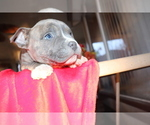 Puppy 2 American Bulldog-American Staffordshire Terrier Mix