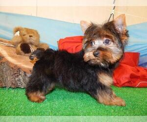 Father of the Yorkshire Terrier puppies born on 07/17/2019