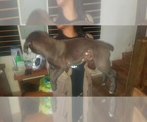 Boerboel Puppy for sale in MBORO, TN, USA