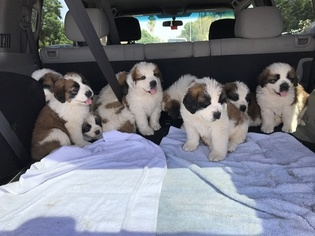Saint Bernard Puppy for sale in PHOENIX, AZ, USA