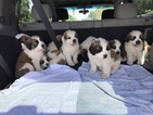 Saint Bernard Puppy For Sale in PHOENIX, AZ
