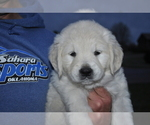 Puppy 5 English Cream Golden Retriever