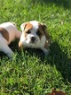 Bulldog Puppy For Sale in COLUMBUS, OH, USA