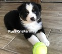 Small Photo #2 Australian Shepherd Puppy For Sale in SAINT JOHNS, FL, USA