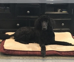Mother of the Labradoodle puppies born on 06/29/2019