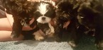 Shih Tzu Puppy For Sale in WARRENTON, VA, USA