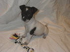Ratchi  Chihuahua rat terrier Puppy