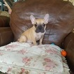 French Bulldog Puppy For Sale in LOS ANGELES, CA, USA