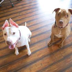 Mynka (courtesy post) - American Staffordshire Terrier Dog For Adoption