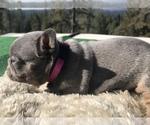 Small #22 French Bulldog
