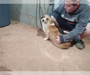 Mother of the Pembroke Welsh Corgi puppies born on 01/30/2020