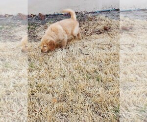 Golden Retriever Puppy for sale in EXCELSIOR SPRINGS, MO, USA
