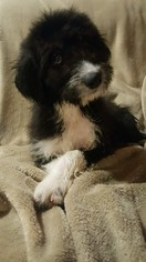 Aussiedoodle Puppy For Sale in ATHENS, GA