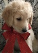 Puppy 2 Goldendoodle-Poodle (Standard) Mix