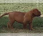 Small Dogue de Bordeaux