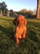 Purebred Vizsla Puppies Only 1 Left