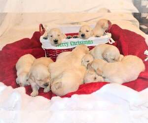 Golden Retriever Puppy for sale in ATHENS, GA, USA