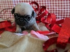 Pug Puppy For Sale in GREENFIELD, MO, USA
