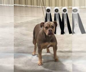 Mother of the Olde English Bulldogge puppies born on 03/11/2019