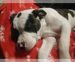 Small #10 American Bulldog