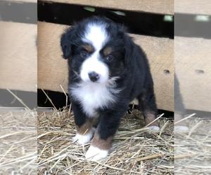 Miniature Australian Shepherd Puppy for sale in STRUNK, KY, USA