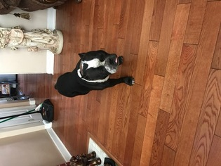 American Bully Dog For Adoption in UNION, NJ, USA