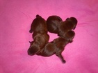 German Shorthaired Pointer Puppy For Sale in WHITNEY POINT, NY, USA