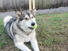 Alaskan Malamute Dog For Adoption near 33872, Sebring, FL, USA
