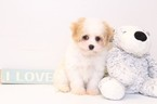 Cavachon Puppy For Sale in NAPLES, FL