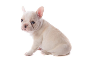 French Bulldog Puppy For Sale in GRETNA, LA, USA