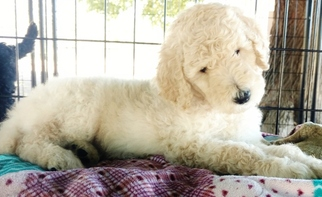 Poodle (Standard) Puppy For Sale in CORNING, CA, USA