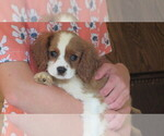 Puppy 0 Cavalier King Charles Spaniel