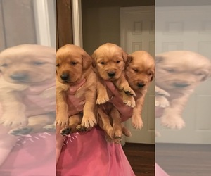 Golden Retriever Puppy for sale in MC COOL, MS, USA