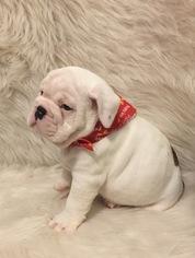 English Bulldog Puppy For Sale in DIAMONDHEAD, MS, USA