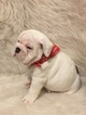 English Bulldog Puppy For Sale in DIAMONDHEAD, MS, USA