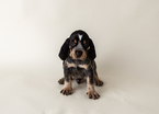 Bluetick Coonhound Puppy For Sale in HAVRE DE GRACE, MD, USA