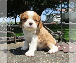 Cavalier King Charles Spaniel Dog for Adoption in LE MARS, Iowa USA