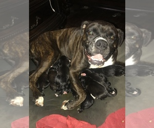 Mother of the Boxer puppies born on 10/22/2020