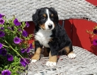Bernese Mountain Dog Puppy For Sale in HARRISONVILLE, MO, USA