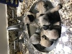 Pug Puppy For Sale in MARYSVILLE, OH, USA