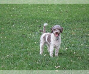 Lagotto Romagnolo Puppy for sale in LANCASTER, PA, USA